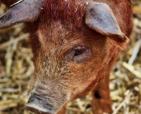 RAM Pig manager